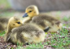 Cute Canada goose gosling sitting in the grass Royalty Free Stock Image