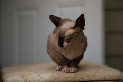 Cute sphinx cat sleeping indoor background stock image