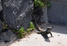 Cute Canarian Lizard. Tenerife. Canary Islands. Spain. Stock Image