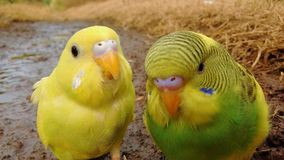Cute canaries posing for the camera. A pair of yellow canaries pose for the photo. nice birds. funny stock photos