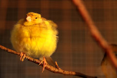 Cute canary bird. A fat canary bird sitting on a tree branch in the early morning and feeling cold Royalty Free Stock Photo