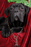Cute cane corso puppy portrait Stock Photography