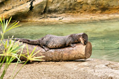 Cute Cape otter rests on trunk Royalty Free Stock Photography