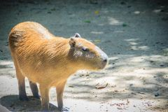 A cute capybara (Hydrochoerus hydrochaeris), the largest living. Rodent in the world. Also called chigüire, it is a member of the genus Hydrochoerus Stock Photos