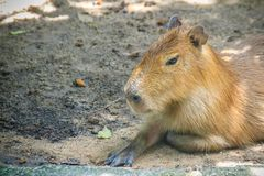 A cute capybara (Hydrochoerus hydrochaeris), the largest living. Rodent in the world. Also called chigüire, it is a member of the genus Hydrochoerus Stock Photography