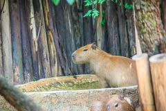 A cute capybara (Hydrochoerus hydrochaeris), the largest living. Rodent in the world. Also called chigüire, it is a member of the genus Hydrochoerus Royalty Free Stock Photo