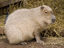 Cute capybara rodent. Against a straw background Royalty Free Stock Image