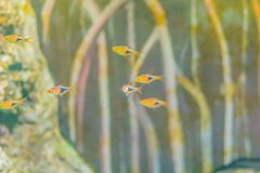 Cute cardinal tetra fish (Paracheirodon axelrodi), a freshwater stock photo