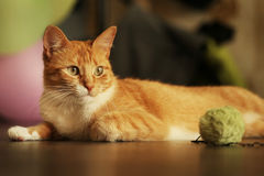 Cute cat. Horizontal shot of cute red cat lying on the floor Royalty Free Stock Photo