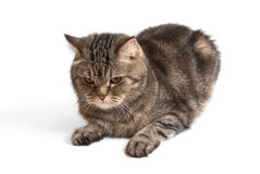 Cute Cat Royalty Free Stock Photos