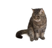 Cute Cat. Gray fluffy cat is looking out the side Royalty Free Stock Image