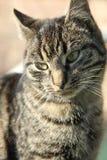 Cute cat. A grey cute striped cat royalty free stock photo