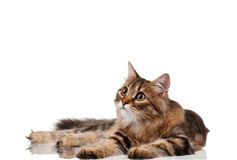 Cute cat Royalty Free Stock Photography