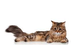Cute cat. Cute young Siberian cat on white background royalty free stock photos
