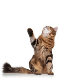 Cute cat. Cute young Siberian cat on white background stock photos