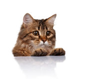 Cute cat. Cute young Siberian cat on white background stock images