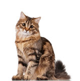 Cute cat. Cute young Siberian cat on white background Stock Image