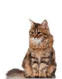 Cute cat. Cute young Siberian cat on white background stock photography