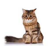 Cute cat. Cute young Siberian cat on white background Stock Photo