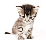 Cute cat. Beautiful young cute cat with white background Royalty Free Stock Image