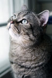 Cute cat. It is looking at the bird outside window at this moment Stock Photos