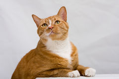 Cute cat. An orange cat looking up while leaning on a white table, isolated on white stock images