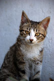 Cute Cat. A cute cat, glaring at you Stock Photography