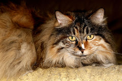 Cute Cat. Royalty Free Stock Images