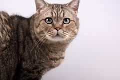 Cute cat. Royalty Free Stock Photo