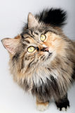 Cute cat. Royalty Free Stock Image