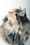 Cute cat. This cat is looking at the food above Stock Photography