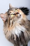 Cute cat. Royalty Free Stock Photography