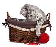 Cute cat in basket playing with a red ball of yarn. A cute Egyptian Mau cat sitting in a basket plays with a red ball of yarn Royalty Free Stock Photos