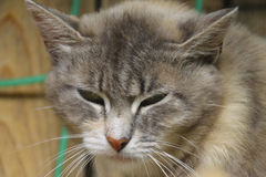 Cute cat. Beautiful old sleepy but cute cat royalty free stock image