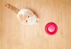 Cute cat beging food Royalty Free Stock Image