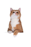 Cute cat behind cardboard Royalty Free Stock Images