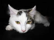 Cute cat on black background Royalty Free Stock Images