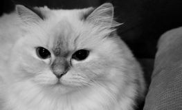 Cute Cat Black and White. Black and white picture of a cute cat setting on the chair Royalty Free Stock Photography
