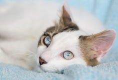 Cute Cat. The Cute Cat; Blue Eyed Cat Royalty Free Stock Image