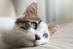 Cute Cat. The Cute Cat; Blue Eyed Cat stock photo