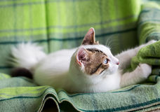 Cute Cat. The Blue Eyed Cat, white cat Stock Image