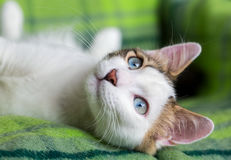 Cute Cat. The Blue Eyed Cat, white cat Stock Photography
