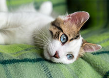 Cute Cat. The Blue Eyed Cat, white cat Stock Photo