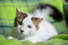 Cute Cat. The Blue Eyed Cat, white cat Royalty Free Stock Photo