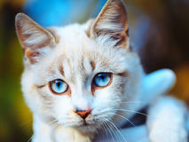 Cute cat with blue eyes Stock Images