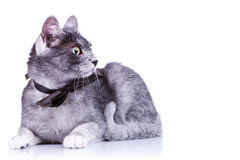 Cute cat with a bow tie at its neck Stock Image