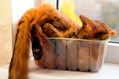 Cute cat in a box. Cute somali cat lying inside plastic box with face in it Royalty Free Stock Photography