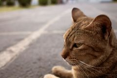 Cute cat Brown pattern is looking Lie on the Concrete floor. Image royalty free stock photos