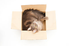 Cute cat in cardboard box. On white background Stock Image