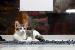 Cute cat on the carpet. This image present about shorthair cute cat on the carpet Royalty Free Stock Images